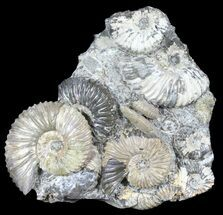 "Buy 5.4"" Iridescent Deschaesites Ammonite Cluster - Russia - #39151"