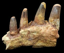 "Buy 7.5"" Spinosaurus Jaw Section - Four Composite Teeth - #39292"