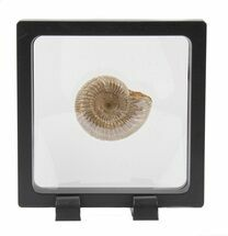 "Buy 1.7"" Perisphinctes Ammonite Fossil In Display Case - #40015"