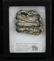 Mammuthus columbi - Fossils For Sale - #40104