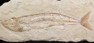 "9.6"" Cretaceous Fossil Fish (Spaniodon) - Lebanon For Sale, #40046"