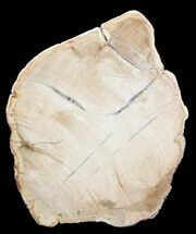 "Buy 4.3"" Petrified Wood (Araucaria) Slice - Madagascar - #41389"