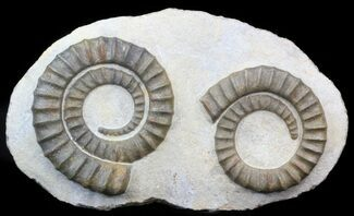 Pair Of Devonian Anetoceras Ammonites - Morocco For Sale, #41474