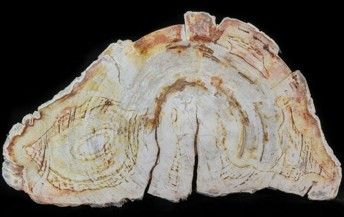 "11.8"" Petrified Wood (Tropical Hardwood) Slab (Clearance Price)"
