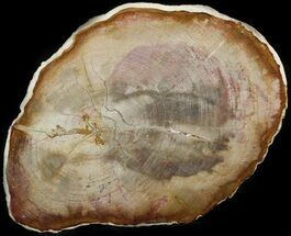 "10.5"" Petrified Wood (Tropical Hardwood) Slab - Indonesia For Sale, #41903"