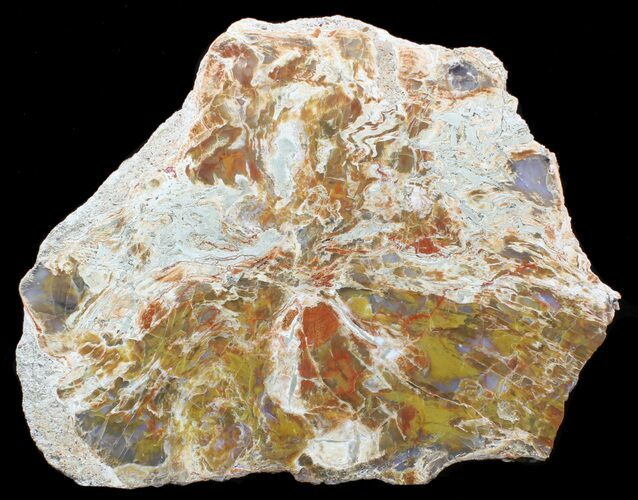 "10.3"" Jurassic Petrified Wood Slab From Utah - Brilliantly Colored"