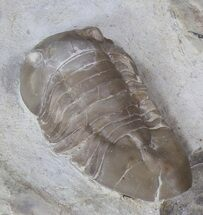 "Buy 1.35"" Isotelus Trilobite - Platteville Formation, Wisconsin - #42226"