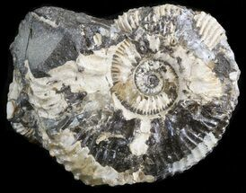 "1.6"" Wide Kosmoceras Ammonite - England For Sale, #42638"