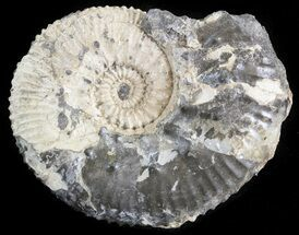 "Buy 2"" Wide Kosmoceras Ammonite - England - #42640"