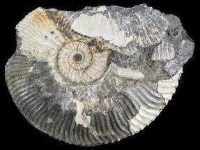 "Buy 2.4"" Wide Kosmoceras Ammonite - England - #42652"