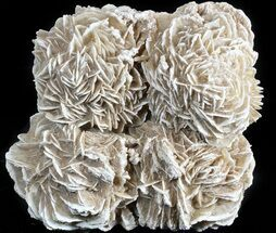 "Large 4.6"" Desert (Selenite) Rose - Chihuahua, Mexico For Sale, #42689"