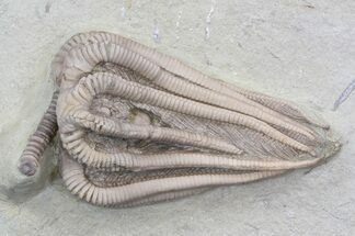 "Very 3D, 2.3"" Agaricocrinus Crinoid - Indiana For Sale, #42764"