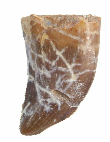 ".77"" Undescribed Raptor Tooth - Aguja Formation, Texas"
