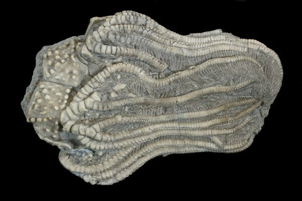 The fossilized crown of the crinoid Elegantocrinus collected near Crawfordsville, Indiana.