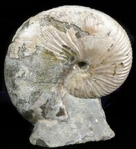 Hoploscaphities nicolletii - Fossils For Sale - #43920