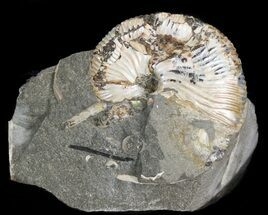 "Hoploscaphites Brevis Ammonite - 1.4"" For Sale, #43940"