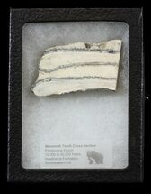 Mammuthus columbi - Fossils For Sale - #44094