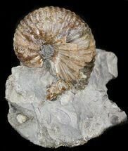 "1"" Hoploscaphites Ammonite Fossil - Montana For Sale, #44039"
