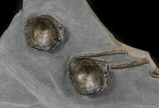 Buy Two Ichthyosaur Vertebrae In Matrix - Somerset, England - #45226