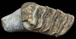 Buy Fossil Stegodon Lower Jaw M2 Molar - Indonesia - #45379
