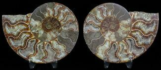 Cleoniceras cleon - Fossils For Sale - #45486