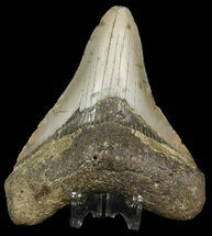 "3.89"" Megalodon Tooth - North Carolina For Sale, #45632"