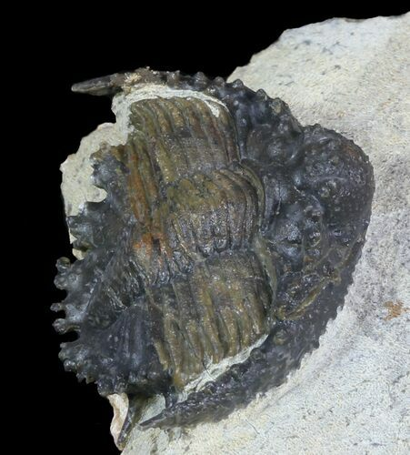 "1.1"" Akantharges Mbareki Trilobite - Tinejdad, Morocco"