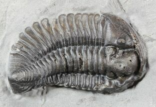 "1.1"" Calymene Niagarensis Trilobite - New York For Sale, #46577"