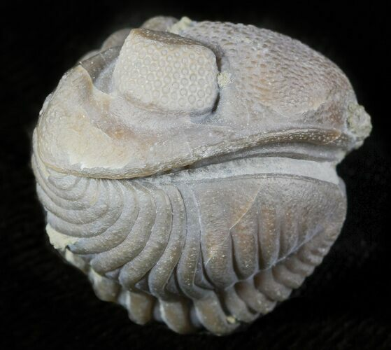"1.15"" Wide Enrolled Eldredgeops Trilobite - Silica Shale"