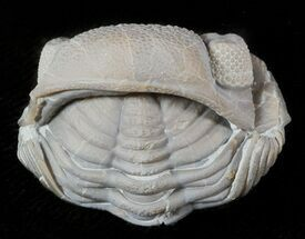 "Buy 1.36"" Wide Enrolled Eldredgeops Trilobite - Silica Shale - #46588"