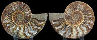 Cleoniceras cleon - Fossils For Sale - #46518