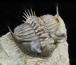 "Buy 2.3"" Tower-Eyed Erbenochile Trilobite - Check Out The Detail! - #47071"