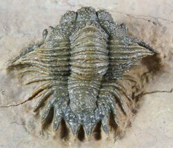 Acanthopyge (Lobopyge) bassei - Fossils For Sale - #47067