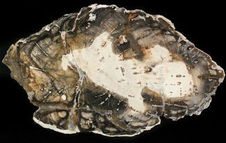 "Buy Triassic Aged Petrified Wood (Araucaria) From Madagascar - 6.9"" - #47413"