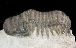 "Bargain 2.5"" Crotalocephalina Trilobite  For Sale, #47429"