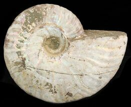 "4.2"" Silver Iridescent Ammonite - Madagascar For Sale, #47495"