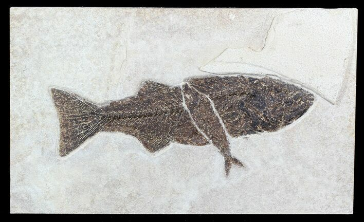"14.5"" Mioplosus With Knightia Fossil Fish (Clearance Price)"