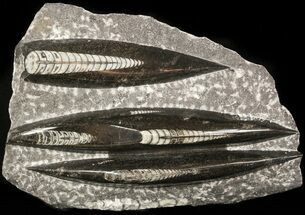 "Polished Orthoceras (Cephalopod) Plate - 7.1"" For Sale, #47987"