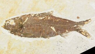 "3.5"" Knightia Fossil Fish - Wyoming For Sale, #48176"