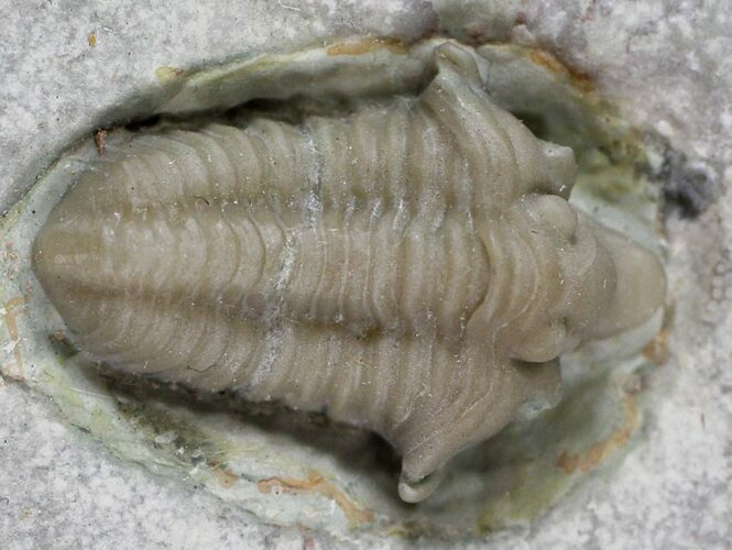 "Rare, .8"" Snout-Nosed Spathacalymene Trilobite - Indiana"