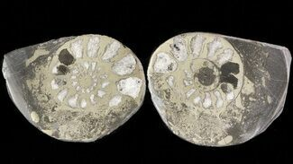 "Buy 1.3"" Pyritized Ammonite Fossil Pair - #48088"