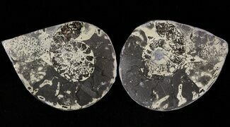 "1.6"" Pyritized Ammonite Fossil Pair For Sale, #48098"