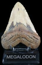 "Bargain, 5.30"" Megalodon Tooth - North Carolina For Sale, #48293"