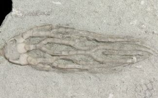 Cyathocrinites multibrachiatus - Fossils For Sale - #48453