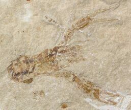 "Buy 1.5"" Fossil Lobster (Pseudostacus) - Lebanon - #48520"