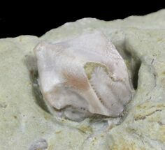 Blastoid (Pentremites) Fossil - Illinois   For Sale, #48650