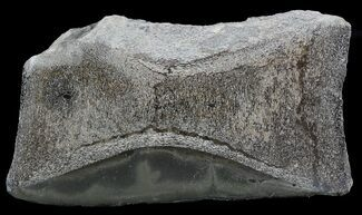 Jurassic Marine Reptile Bone In Cross-Section - Whitby, England For Sale, #49160