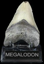 "4.73"" Megalodon Tooth - North Carolina For Sale, #49523"