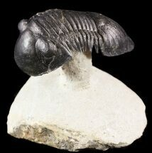 "Buy Spectacular ""Flying"" Paralejurus Trilobite Fossil - 2.4"" - #49579"