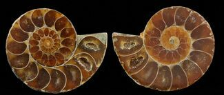 "Small Desmoceras Ammonite Pair - 1.5"" For Sale, #49829"